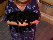 Newfoundland Pups CKC Reg
