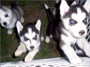 16 Weeks Old and AKC Registered Husky Puppies For Approved Family